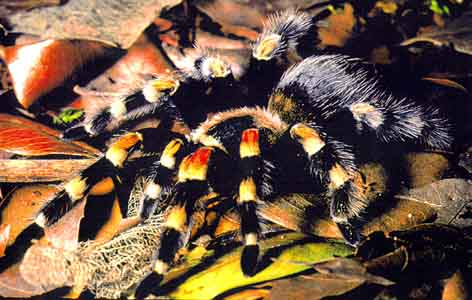 Spiders Eat Wax Worms
